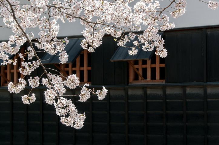cherry-blossoms-301253_1280